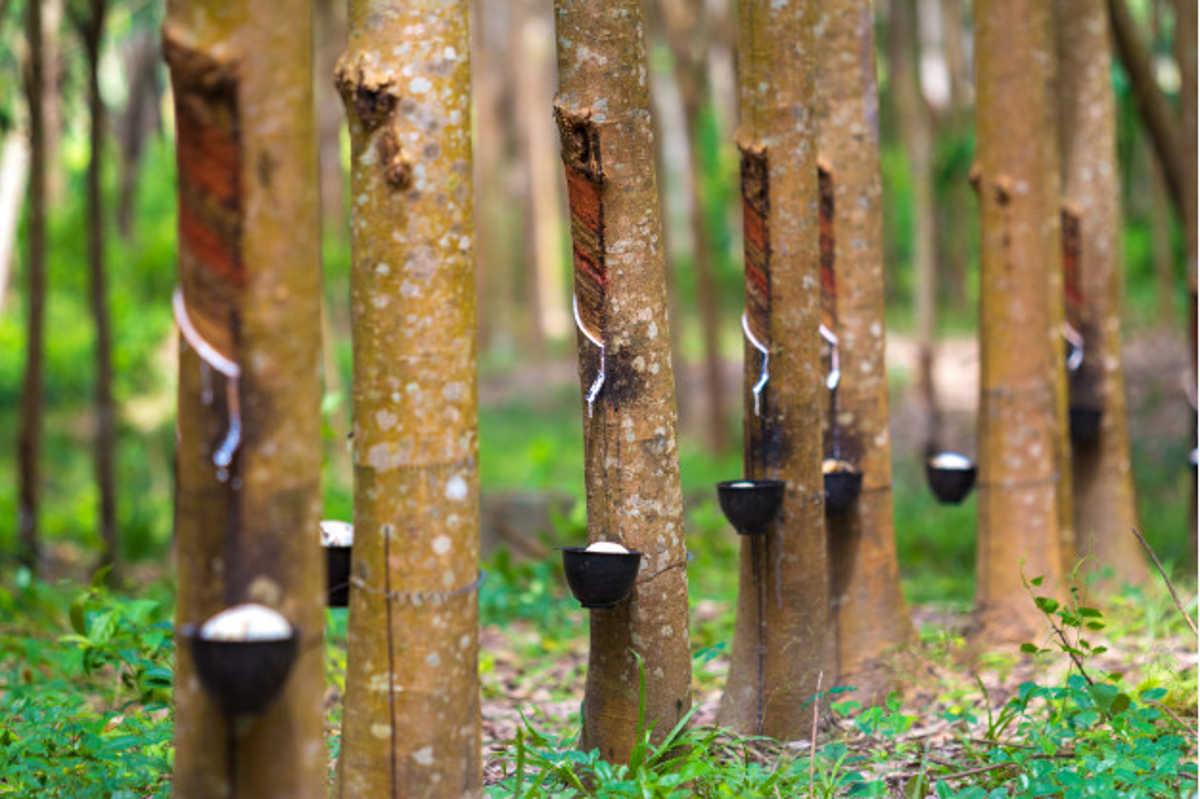 El latex es un producto natural que se extra del arbol de caucho